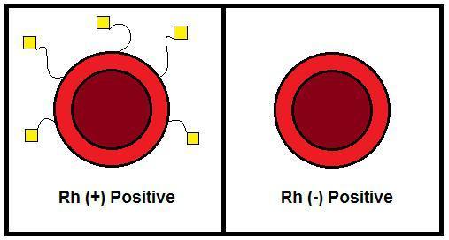 О резус-факторе: что это такое, чем положительный отличается от отрицательного?