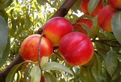 В каком возрасте ребенку можно давать персик или нектарин?