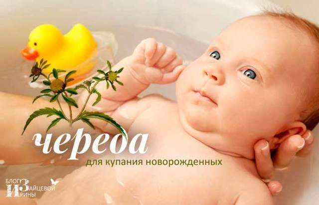 Череда для купания новорожденного: как заварить траву и как правильно купать ребенка в ванне с чередой?