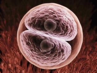 Как правильно считать срок беременности при эко: когда наступает зачатие после переноса эмбрионов?