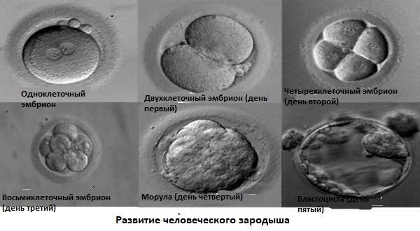 Как происходит зачатие и наступает беременность: процесс оплодотворения яйцеклетки по дням, первые симптомы