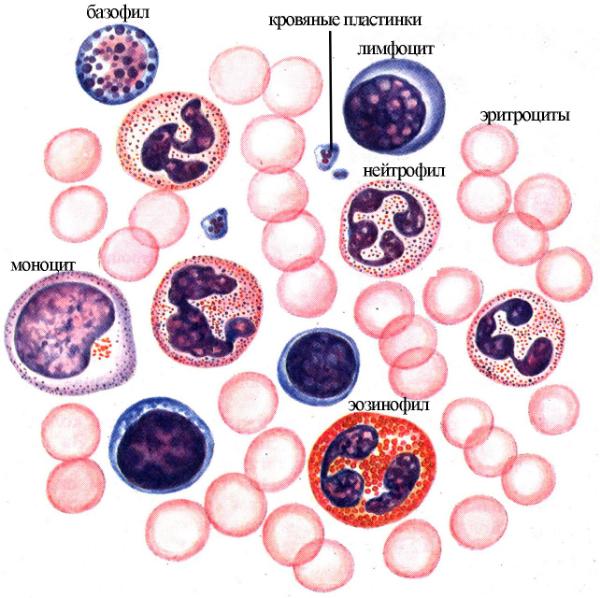 Что означают пониженные лейкоциты в крови у детей, как повысить уровень этого показателя?