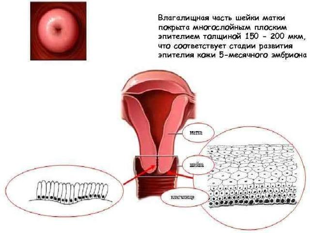 Почему шейка матки становится короткой во время беременности, чем опасно укорочение, как ее удлинить?