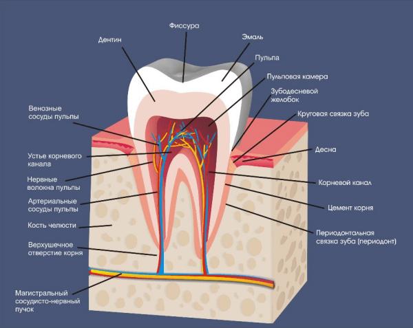 Когда у ребенка начинают резаться первые зубы и в какой последовательности они появляются: график прорезывания