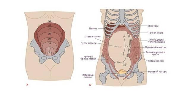 Форма и размер матки во время беременности: на какой неделе она начинает расти и как выглядит на ранних сроках?