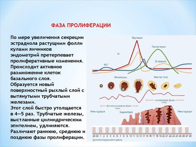 Толщина эндометрия по дням цикла: таблица с нормами и причины отклонений