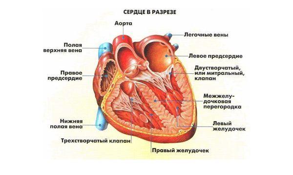 Почему у ребенка может болеть сердце: причины жалоб, симптомы и лечение